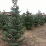 Line of Christmas Trees in lot